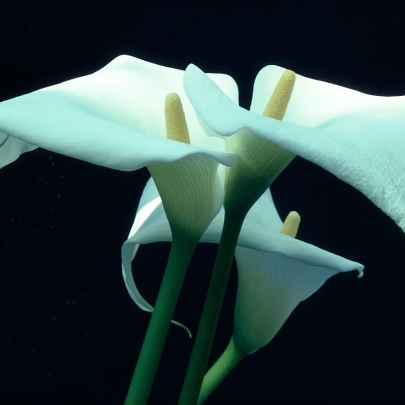 Ernst Haas Calla Lily, Munich Tirage chromogène posthume Dim. papier: 40,5 x 50,7 cm