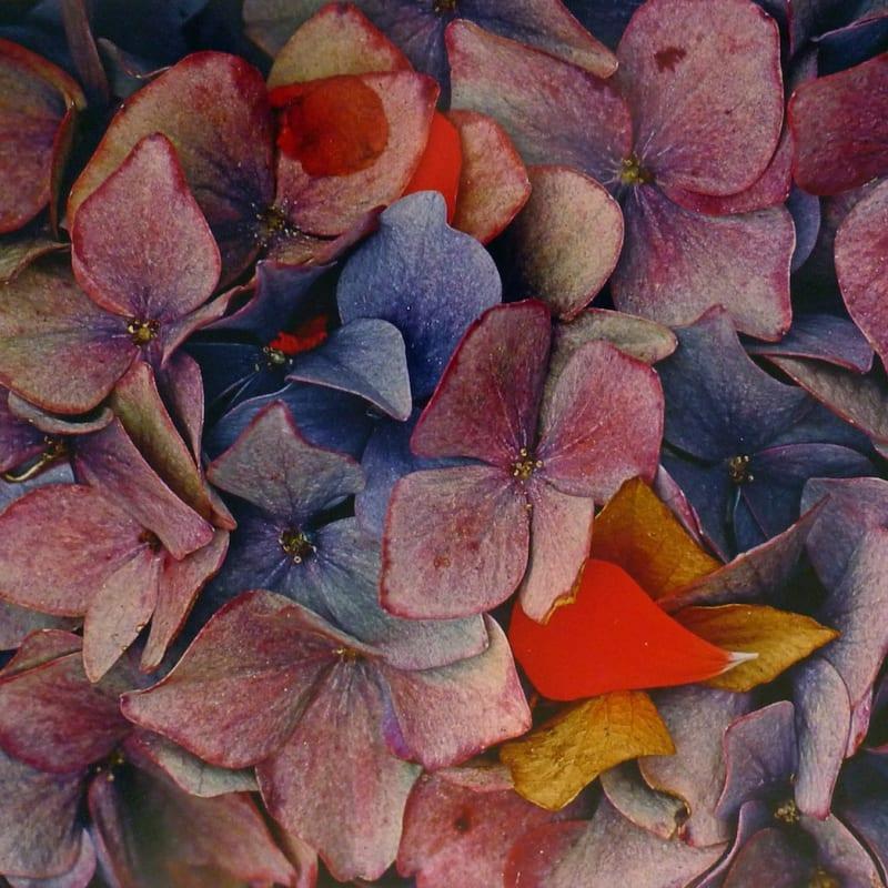 Ernst Haas Hydrangeas, California Tirage Dye Transfer d'époque 34 x 49,5 cm Dim. papier: 36 x 51 cm