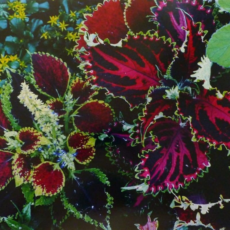 Ernst Haas Flowers, Coleus, Rockport, Maine Tirage Dye Transfer d'époque Dim. papier: 48 x 60,7 cm