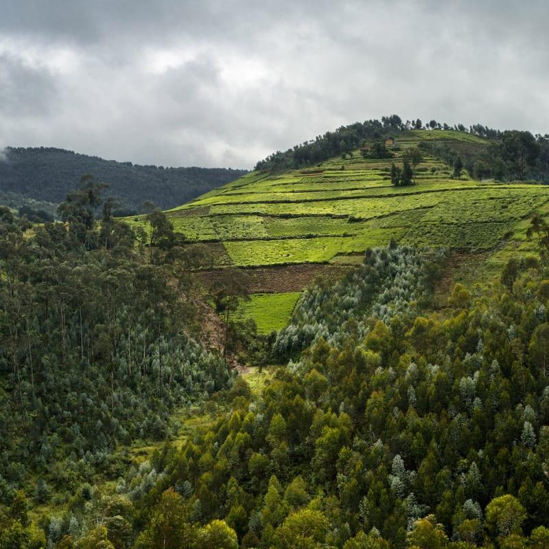 Alexis Cordesse Sans titre, Forêt primaire de Nyungwe, Rwanda Tirage C-Print réalisé sous le contrôle de l'artiste Dim. papier: 90 x 120 cm