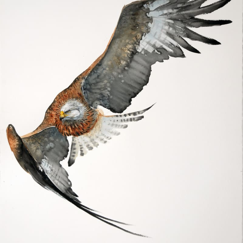 Karl Martens  RED KITE IN FLIGHT (UNFRAMED)  Watercolour  153 x 103 cm  60 1/4 x 40 1/2 in