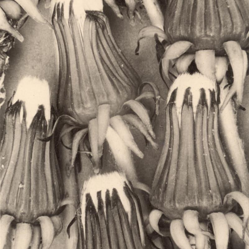 Dandelions, 1993