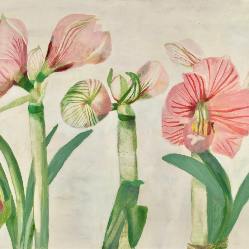 Studies of Amaryllis Flowering