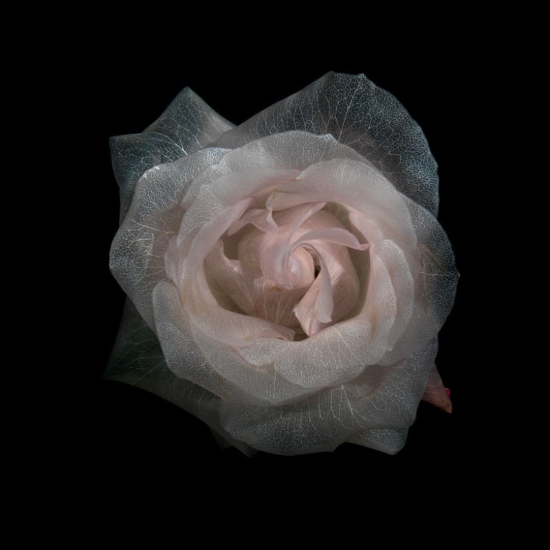 Design Boom: transparent roses glass photographic series by alexander james