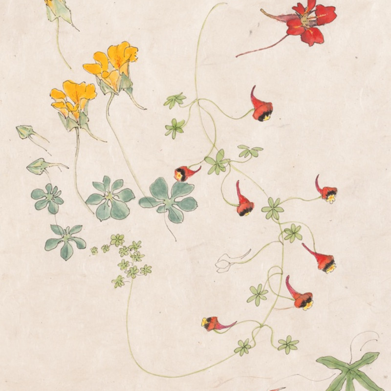 Emma Tennant, Four Species of Tropaeolum (detail). Watercolour and ink on paper