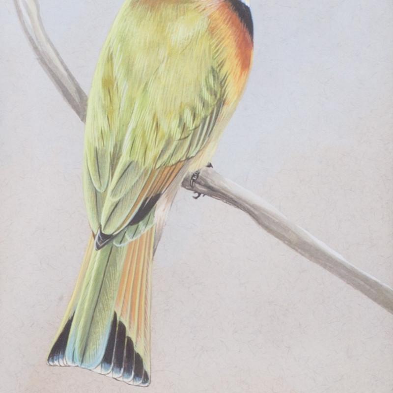 Chloë Talbot Kelly, Little African bee-eater