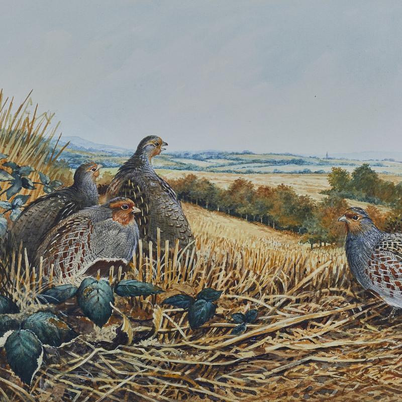 Partridge in a stubble field
