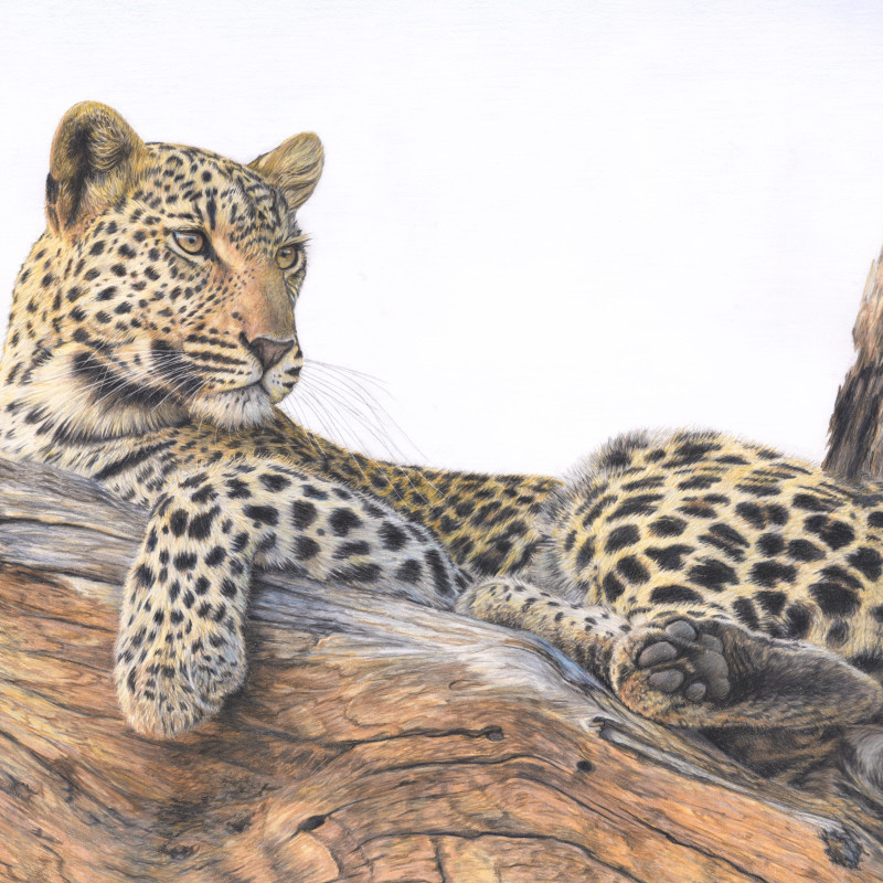 Charlotte J Williams , Leopard in a tree - the lookout
