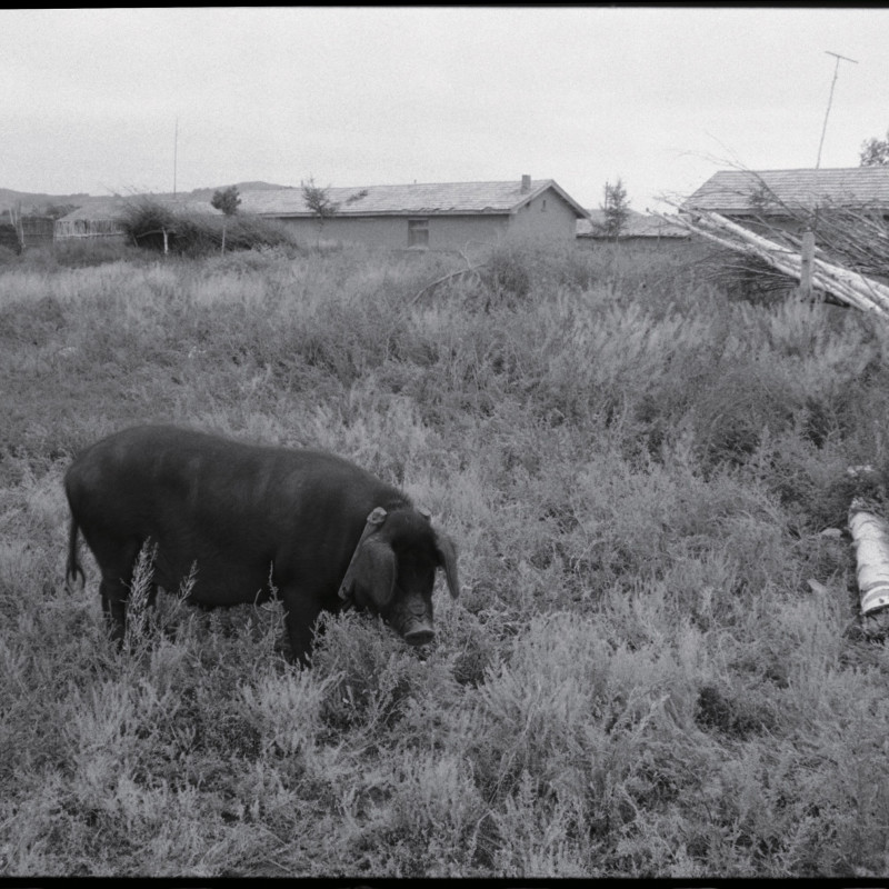 《村外黑色的猪,河北》 Black Pig Outside the Village, Hebei 1997