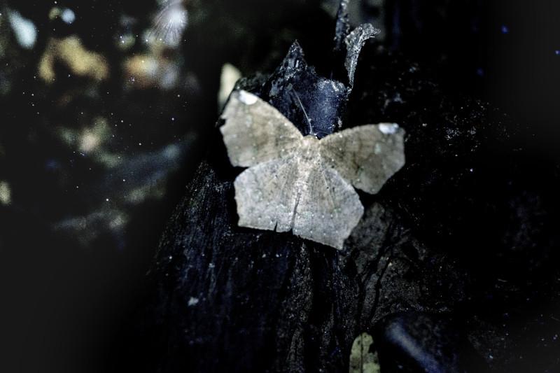 Geometric moth