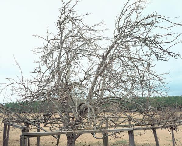 Pear Tree, near Akron, Alabama, January, 2000