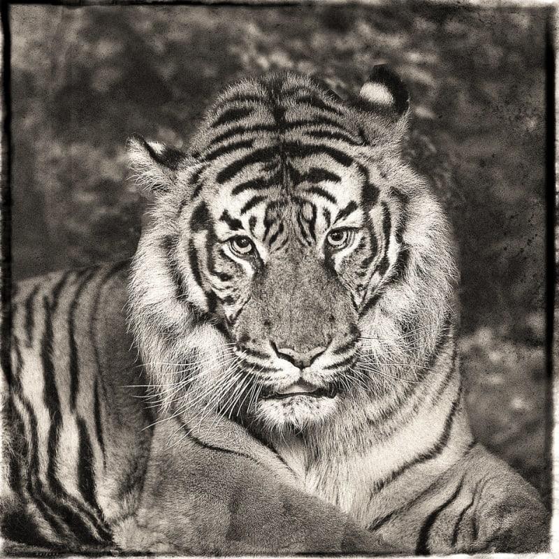 Jan Gulfoss, Sumatra Tiger, c. 2013-2016