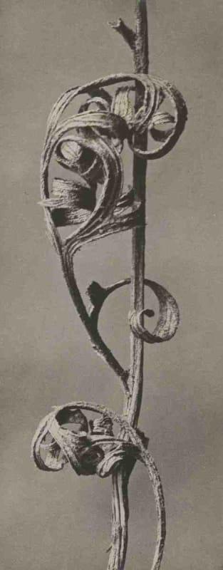 Karl Blossfeldt, Anemone, pulsatilla, c. 1920