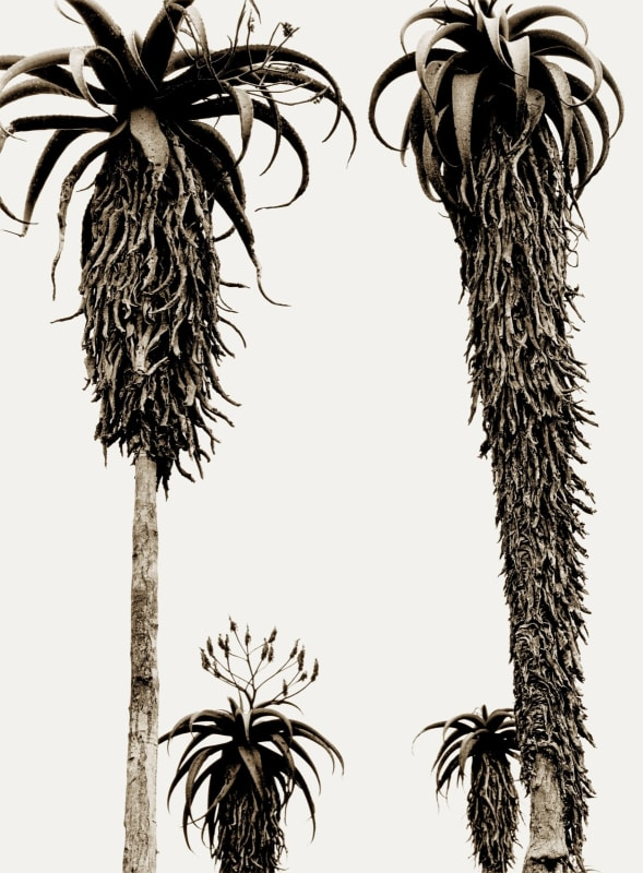 'Masvingo Aloes' archival pigment print paper size A: 16 x 20 inches / 40 x 50 cm approx. paper size B: 20 x 24 inches / 50 x 60 cm approx. paper size C: 28 x 35 inches / 71 x 89 cm approx. paper size D: 35 x 47 inches / 88 x 119 cm approx. paper Size E: 44 x 65 inches / 112 x 165 cm approx. 5 editioned sizes with 25 prints per size signed and dated by the artist