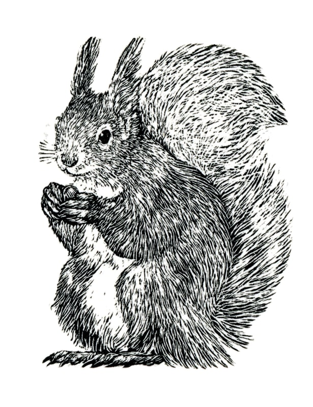 Ann Tout RE, Red Squirrel