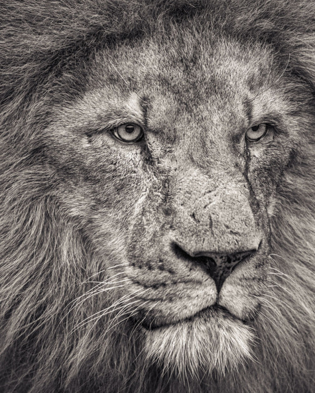 AFRICAN LION LOOKING AWAY, 2016