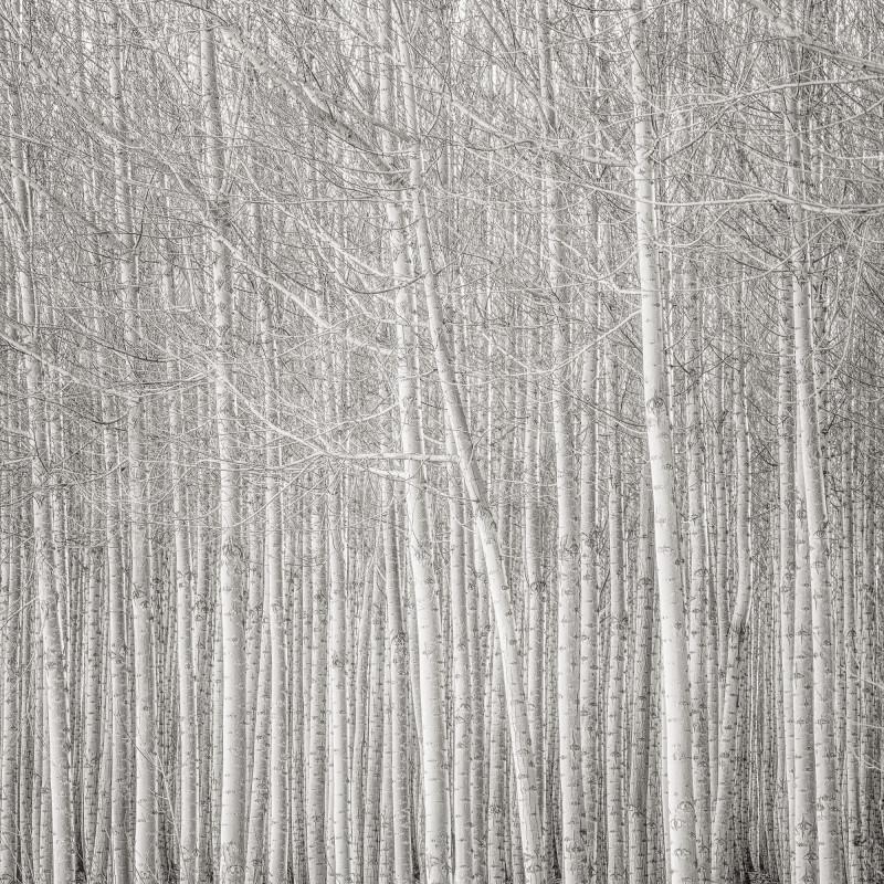 LEANING TREE, POPLAR GROVE, OREGON, 2016