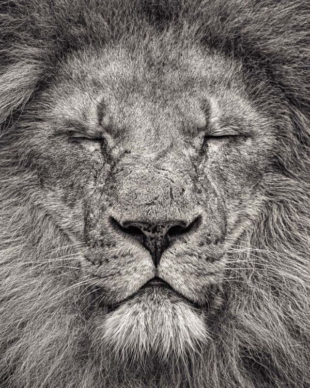 PEACE - PORTRAIT OF AFRICAN LION II, 2016