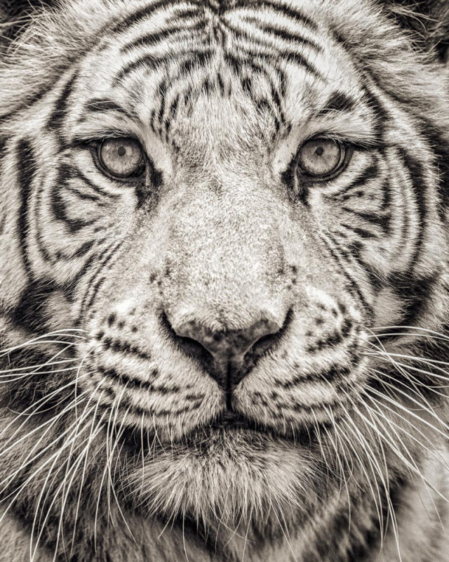 PORTRAIT OF WHITE BENGAL TIGER, 2016