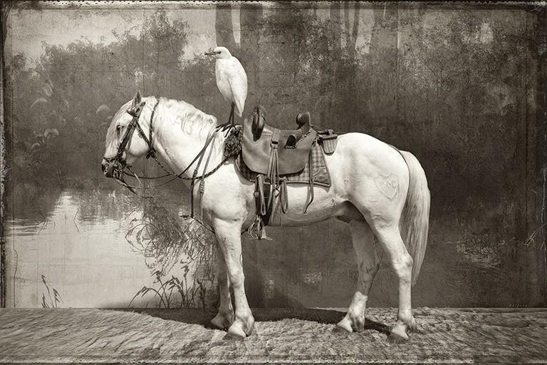 CAMARGUE HORSE AND EGRET