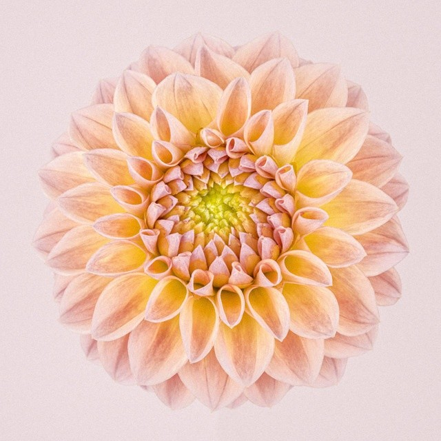 PINK AND YELLOW DAHLIA CIRCLE I, FROM THE SERIES CHROMA II, 2015