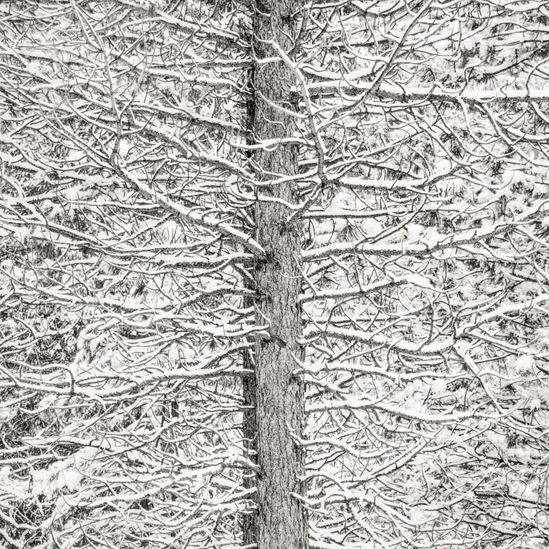 TREE AND SNOW MOSAIC, OREGON, 2009