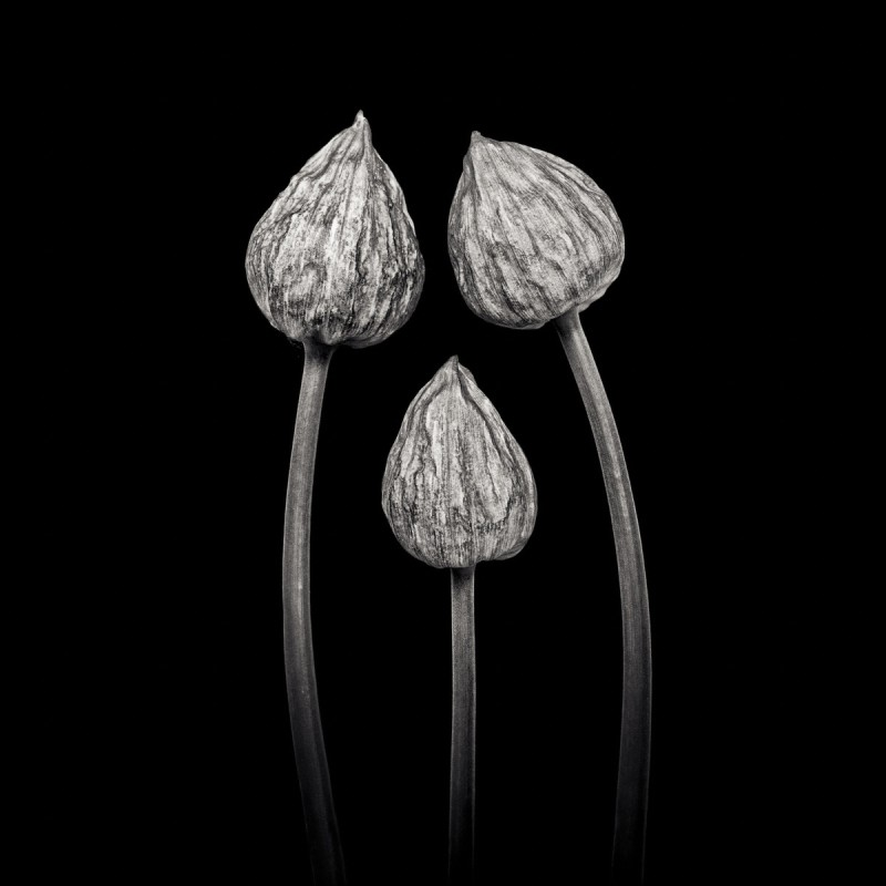 THREE CHIVES, FROM THE SERIES PETALUM, 2012