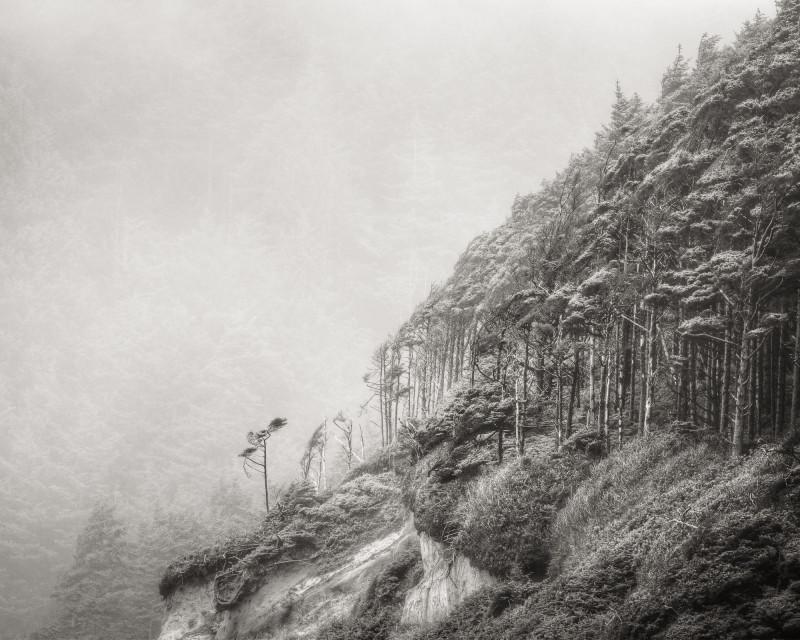 WINDSWEPT TREES, OREGON COAST, 2011