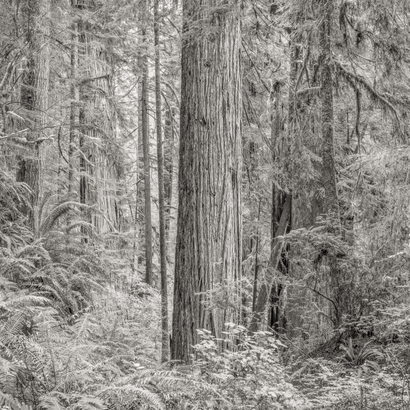 PRIMORDIAL REDWOOD FOREST, CALIFORNIA, 2015