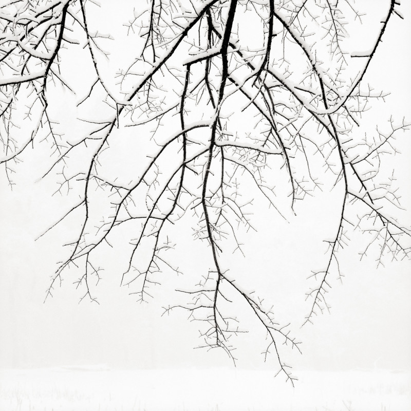 HANGING BRANCHES WITH SNOW, YOSEMITE NATIONAL PARK, CALIFORNIA, 2005