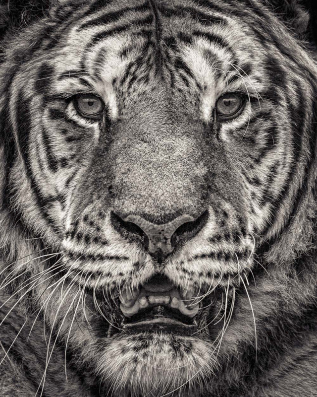 PORTRAIT OF SUMATRAN TIGER, 2016