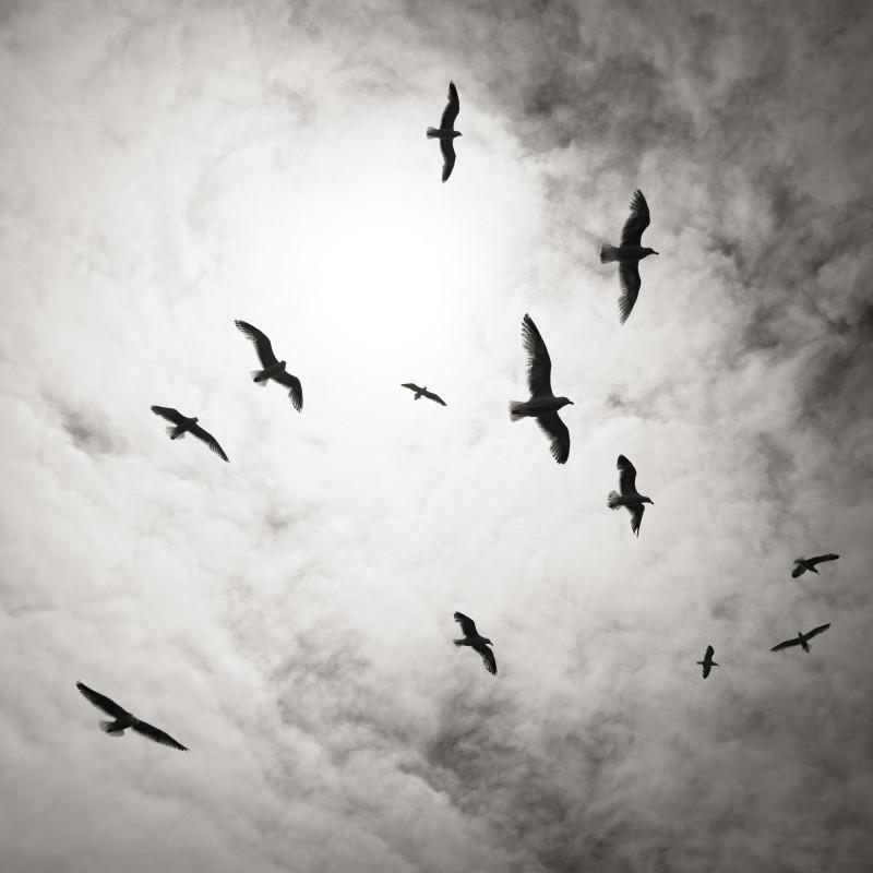 BIRDS IN FLIGHT, OREGON, 2008