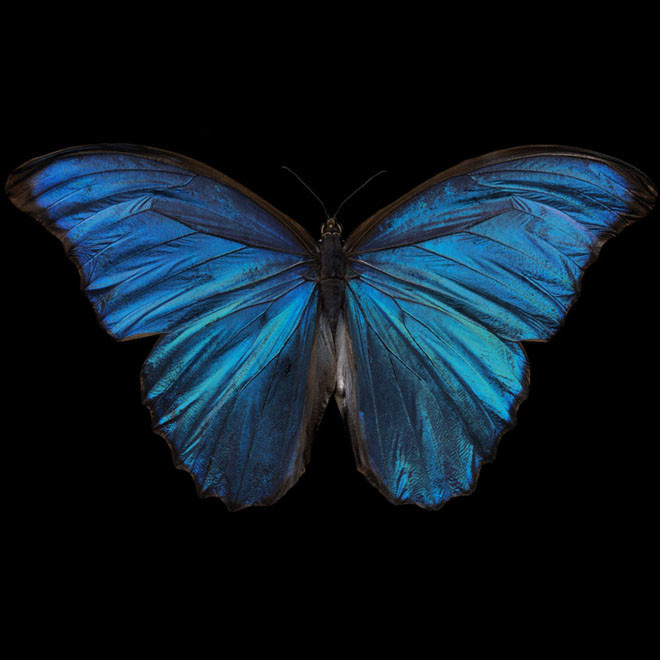 Alexander James Hamilton, Morpho Amathonto [0220], 2011