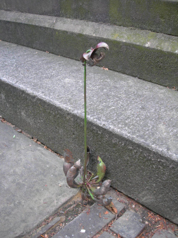 Uprooted (Sarracenia purpurea, Purple Pitcher Plant), 2006