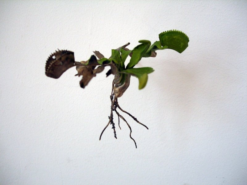 <span class=%22title%22>Uprooted (Dionaea muscipula)<span class=%22title_comma%22>, </span></span><span class=%22year%22>2007</span>