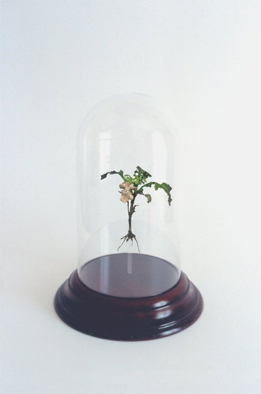 Uprooted (Ragwort, Sennecio Jacobaea; Rose beds at Kew Gardens), 2004