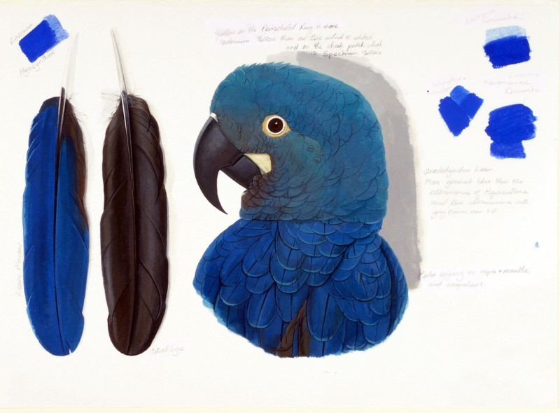 <span class=%22title%22>Lear's Macaw</span>