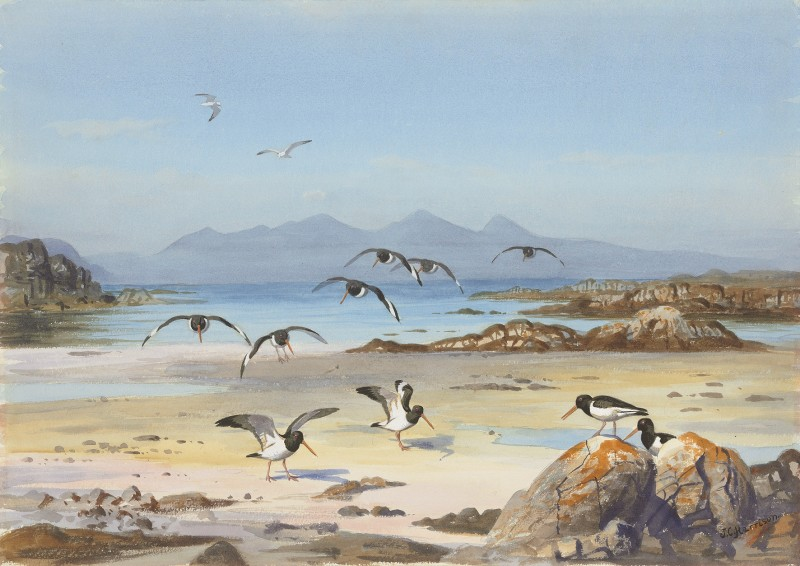 Isle of Rum from Arisaig, Oystercatchers on the foreshore