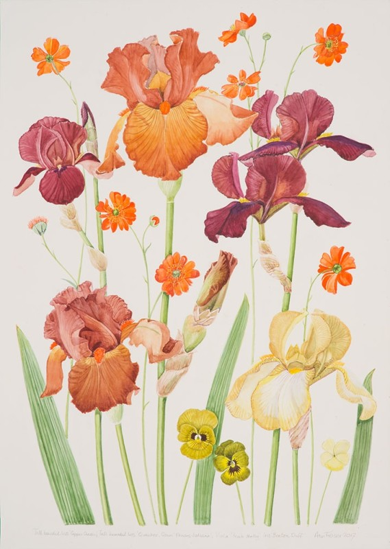Brown tall bearded Iris with orange Geum