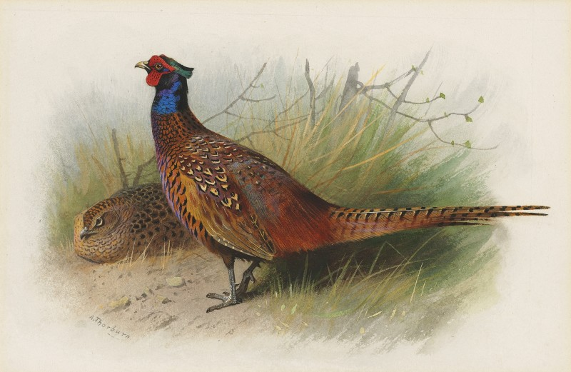 Archibald Thorburn , Cock and hen Pheasant
