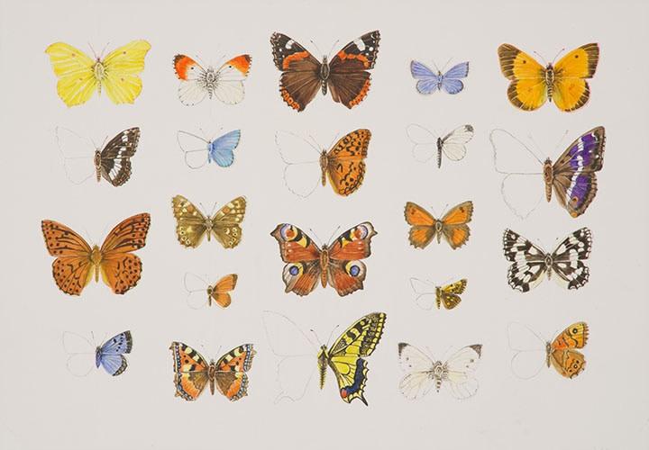 Ann Fraser , Our Threatened Butterflies