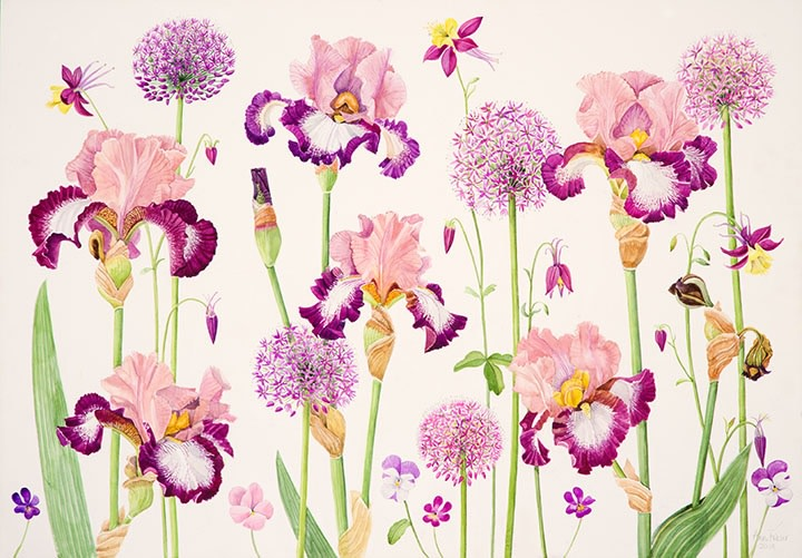Ann Fraser , Tall Bearded Iris 'Change of Pace' with Alliums