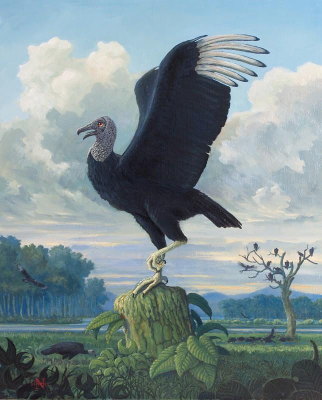 nigel hughes american black vulture coragyps atratus