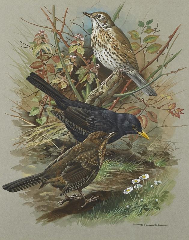 Blackbird and Song Thrush