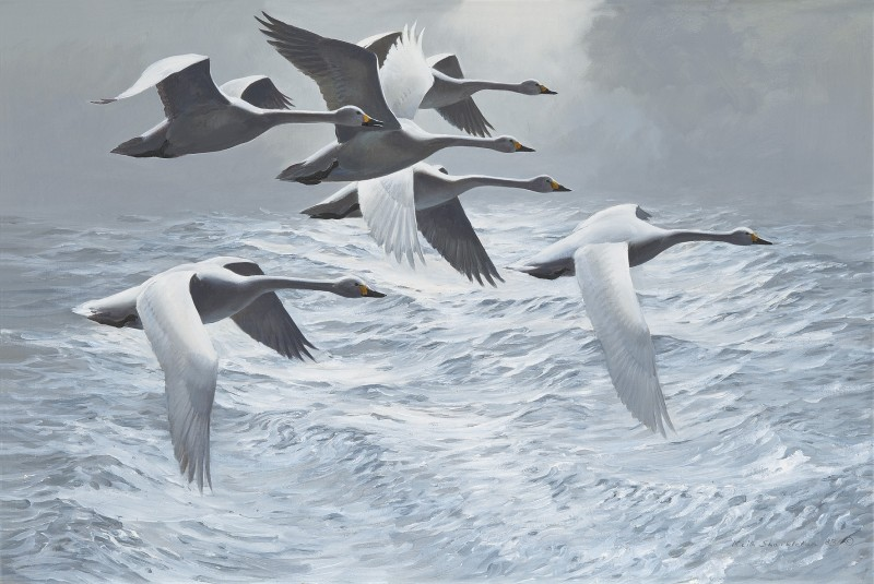 Swans above a swell