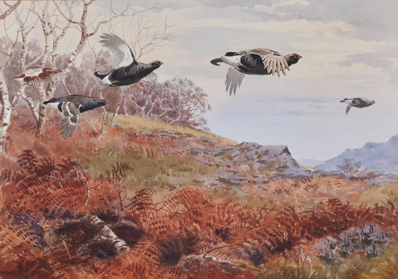 Black grouse in a highland landscape