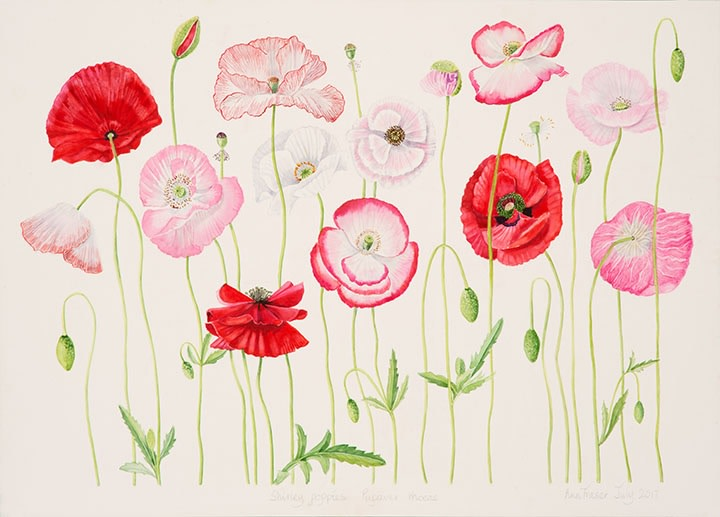Ann Fraser , Shirley Poppies