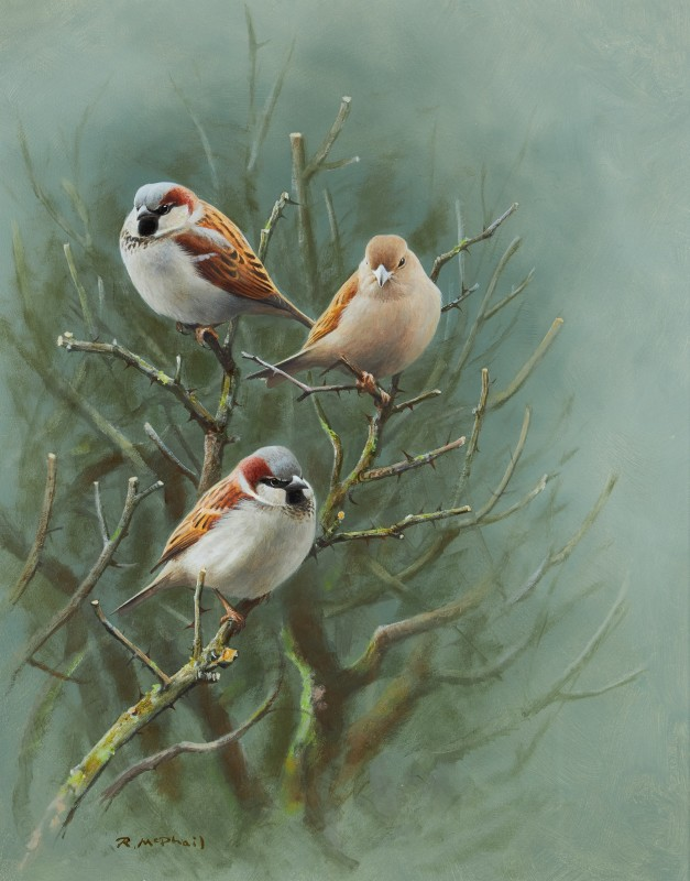 Rodger McPhail , House Sparrows
