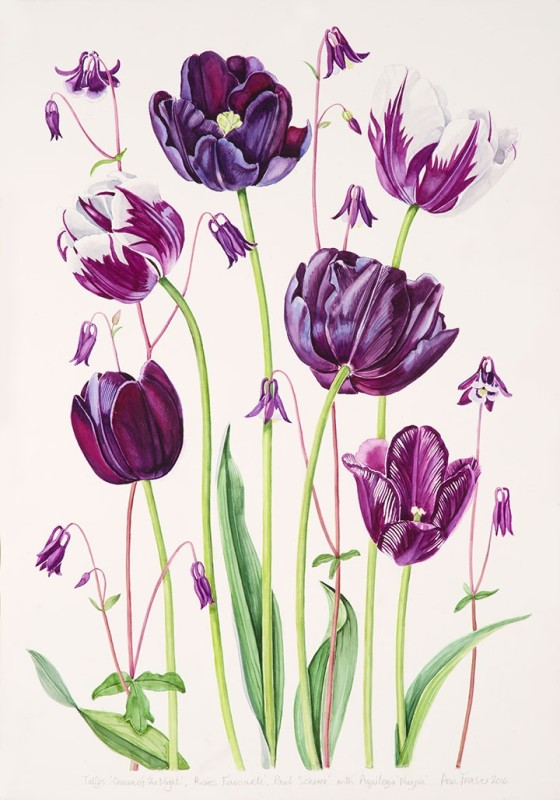 Ann Fraser , Purple Tulips with Aquilegia
