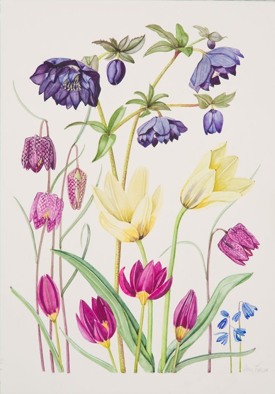 Ann Fraser , Double black Hellebore and early Tulips